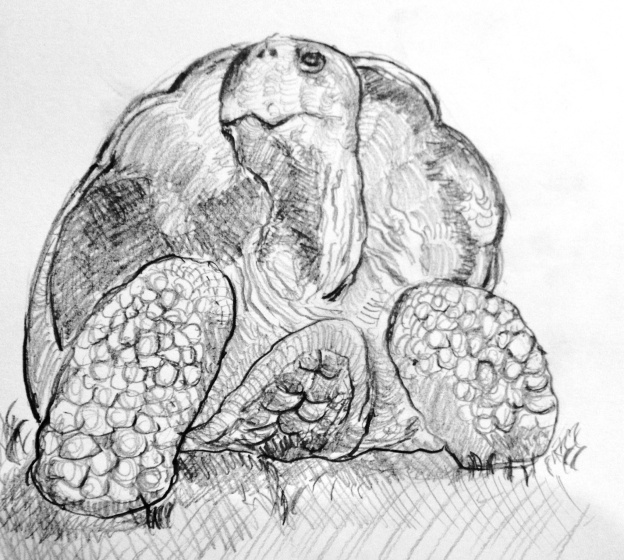 Galapagos Tortoises are giants of the land tortoises weighing up to 230kgs