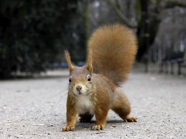 Gesture Drawing: Squirrel